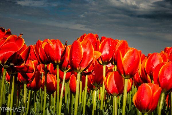 De Tulpen